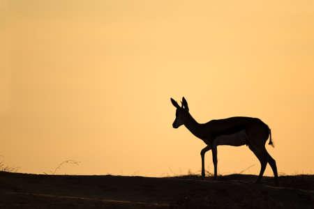 marsupialis: Springbok antelope (Antidorcas marsupialis) silhouetted against a red sky, Kalahari desert, South Africa