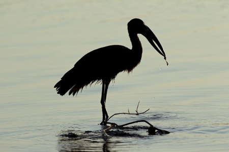 Silhouette of an African openbill stork (Anastomus lamelligerus) standing in water, South Africa Stock Photo - 10620711