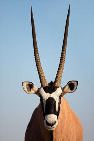 Portrait of a Gemsbok antelope (Oryx gazella) against a blue sky, Kalahari desert, South Africa
