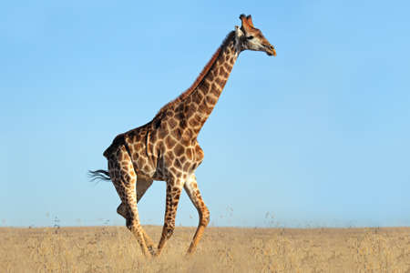 herbivore natural: A giraffe walking on the African plains against a clear blue sky