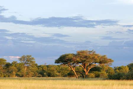 アフリカの景色の美しいアカシア木 (アカシア erioloba)、ワンゲ国立公園、ジンバブエ、南アフリカ