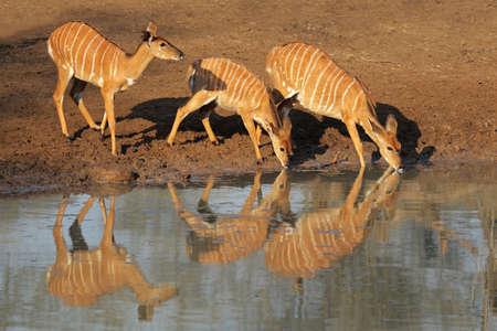 game reserve: Female Nyala antelopes (Tragelaphus angasii) drinking water, Mkuze game reserve, South Africa Stock Photo