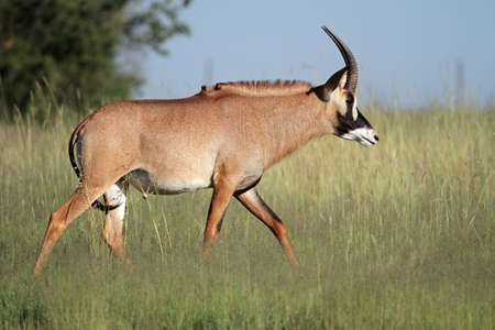 roan: A a rare roan antelope (Hippotragus equinus), South Africa Stock Photo