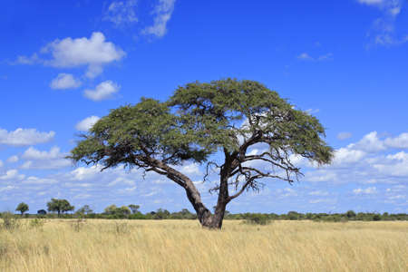 natural vegetation: African landscape with a beautiful Acacia tree (Acacia erioloba), Hwange National Park, Zimbabwe, southern Africa