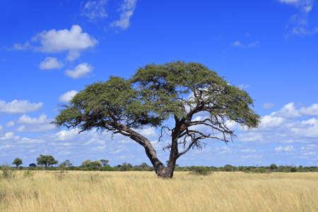 zimbabwe: African landscape with a beautiful Acacia tree (Acacia erioloba), Hwange National Park, Zimbabwe, southern Africa