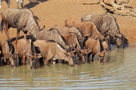 taurinus: Blue wildebeest (Connochaetes taurinus) drinking water, Mkuze game reserve, South Africa