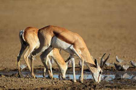 marsupialis: Springbok antelopes (Antidorcas marsupialis) and doves drinking water, Kalahari desert, South Africa