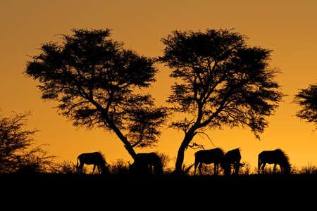 青いヌー (Connochaetes taurinus) と夕日のアフリカに対してシルエット、アフリカのアカシアの木