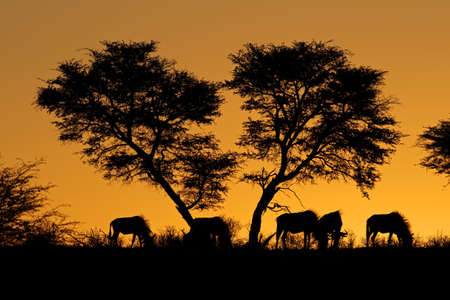 Blue wildebeest (Connochaetes taurinus) and an African Acacia tree silhouetted against a red African sunset Stok Fotoğraf