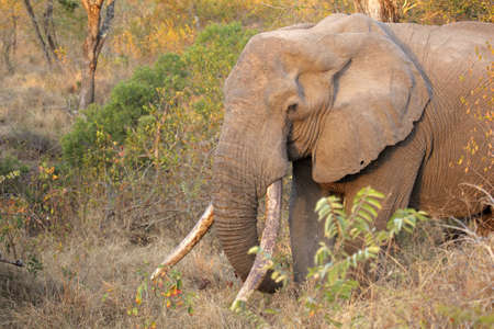 big5: African bull elephant (Loxodonta africana) with large tusks, Sabie-Sand nature reserve, South Africa Stock Photo