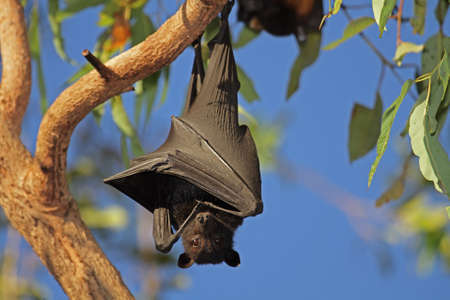 kakadu: Black flying-fox (Pteropus alecto) hanging in a tree, Kakadu National Park, Northern territory, Australia Stock Photo