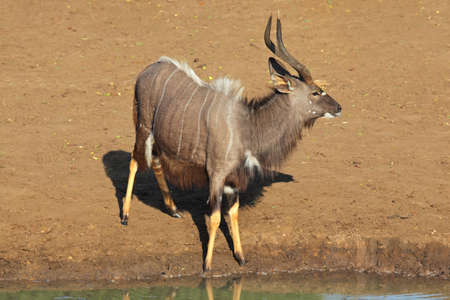 Male Nyala antelope (Tragelaphus angasii) at a waterhole during the dry season, Mkuze game reserve, South Africa photo