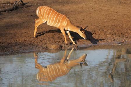 Female Nyala antelope (Tragelaphus angasii) drinking water, Mkuze game reserve, South Africa photo