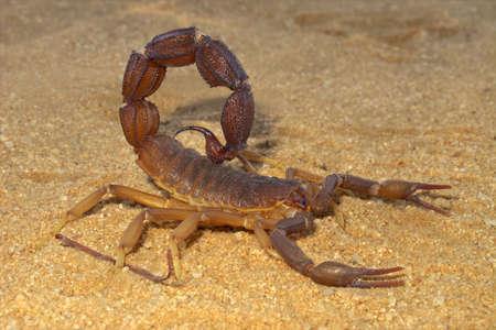 積極的なサソリ (Parabuthus 属のもの)、南アフリカ共和国のカラハリ砂漠