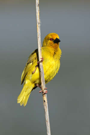 south african birds: Male yellow weaver bird (Ploceus subaureus) sitting on a reed, South Africa