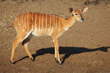 Female Nyala antelope (Tragelaphus angasii), Mkuze game reserve, South Africa photo