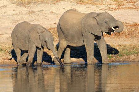 pozo de agua: Dos j�venes elefantes africanos (Loxodonta africana) de agua potable en una charca, Sud�frica Foto de archivo