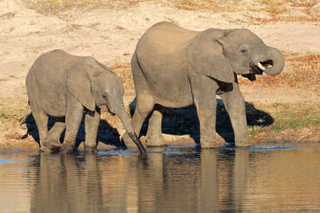africana: Two young African elephants (Loxodonta africana) drinking water at a waterhole, South Africa