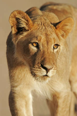 Portrait of a young African lion, (Panthera leo), Kalahari desert, South Africa Stock Photo - 11260801