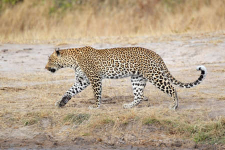 オスのヒョウ (ヒョウ) ウォーキング、サビ砂の自然保護区、南アフリカ 写真素材