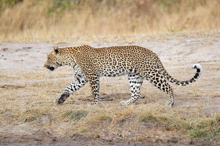sabie sand: Male leopard (Panthera pardus) walking, Sabie-Sand nature reserve, South Africa
