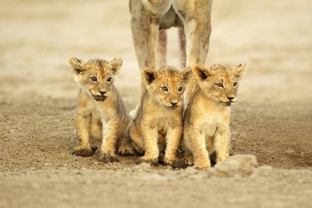 Three cute lions cubs (Panthera leo) sitting in a row, Kalahari desert, South Africa photo