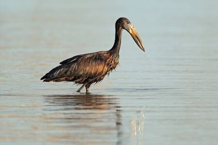 African openbill stork (Anastomus lamelligerus) foraging in water, South Africa Stock Photo - 11981455