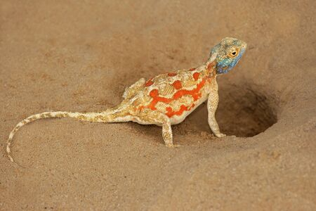 aculeata: Female ground agama (Agama aculeata) at her nest burrow, Kalahari desert, South Africa