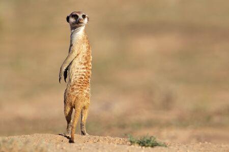 ミーアキャット (ミーアキャット属 suricatta) 立ってガード、カラハリ砂漠、南アフリカ共和国上の警告します。