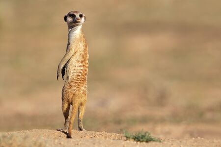 Alert meerkat (Suricata suricatta) standing on guard, Kalahari desert, South Africa photo
