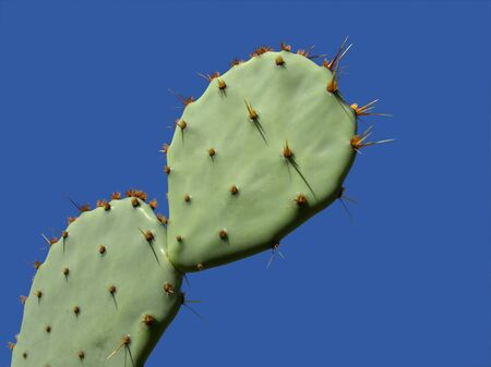 Leaves of a prickly pear cactus plant (Opuntia spp.) with thorns against a blue sky Stock Photo