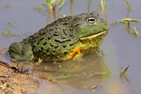 bullfrog: Male African giant bullfrog (Pyxicephalus adspersus) in shallow water, South Africa