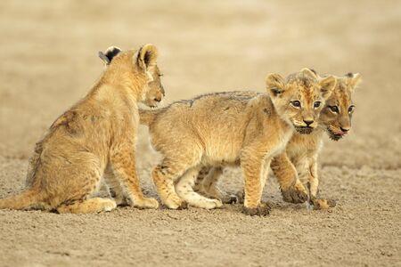 세 귀여운 사자 새끼 (표범 속 레오), 칼라 하 리 사막의 사막, 남아프리카 공화국 스톡 콘텐츠