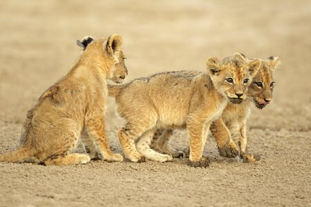 Three cute lions cubs (Panthera leo), Kalahari desert, South Africa