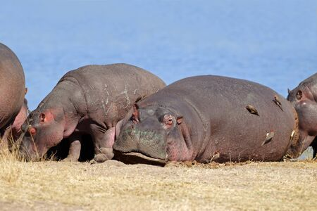 Hippos (Hippopotamus amphibius) with oxpecker birds, Sabie-Sand nature reserve, South Africa Stock Photo - 12030010