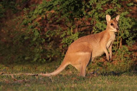 Female Agile Wallaby (Macropus agilis), Kakadu National Park, Northern territory, Australia photo