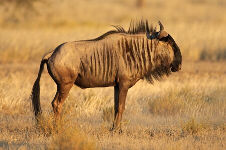 Blue wildebeest (Connochaetes taurinus), Kalahari desert, South Africa photo