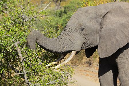big5: African elephant (Loxodonta africana) feeding on tree branches, Sabie-Sand nature reserve, South Africa Stock Photo