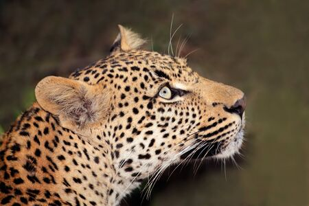 Portrait of a leopard (Panthera pardus), South Africa photo