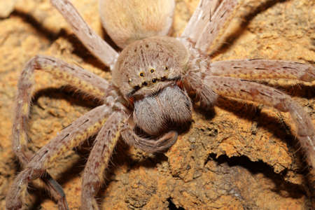 Close-up of a hairy spider with large fangs photo