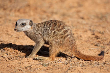 suricatta: Meerkat (Suricata suricatta) foraging for food, South Africa