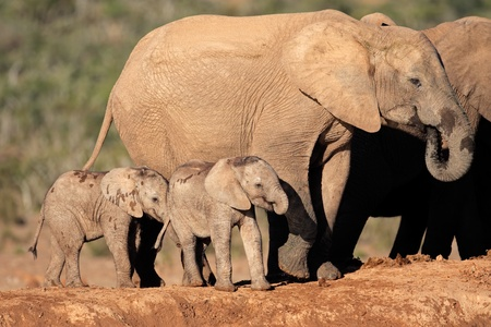 African elephant cow  Loxodonta africana  with small calves, South Africa photo