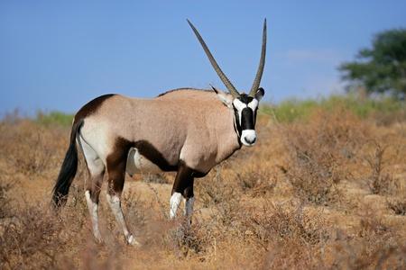 Gemsbok antelope  Oryx gazella , Kalahari desert, South Africa Фото со стока
