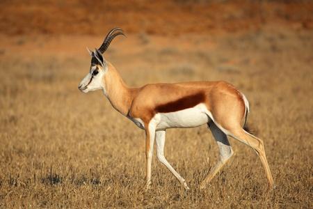 A springbok antelope  Antidorcas marsupialis , Kalahari desert, South Africa photo