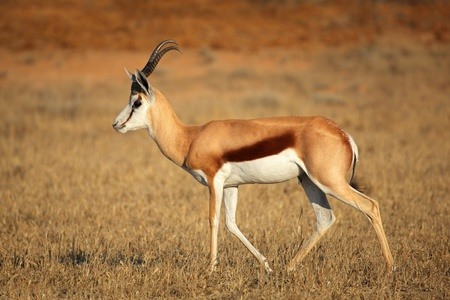 springbuck: A springbok antelope  Antidorcas marsupialis , Kalahari desert, South Africa