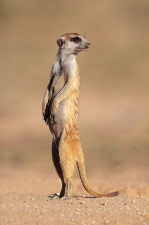 kalahari: Alert meerkat  Suricata suricatta  standing on guard, Kalahari desert, South Africa Stock Photo