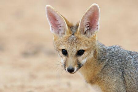 animales del desierto: Retrato de un zorro del Cabo Vulpes chama, desierto de Kalahari, Sudáfrica Foto de archivo