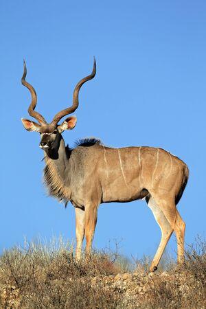 Big male kudu antelope,  Tragelaphus strepsiceros  against a blue sky, Kalahari desert, South Africa Stock Photo - 12930212