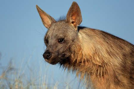 Portrait of a brown hyena  Hyaena brunnea  against a blue sky, Kalahari desert, South Africa photo