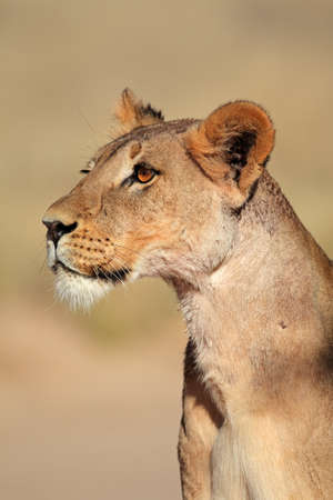 kalahari: Alert lioness  Panthera leo , Kalahari desert, South Africa Stock Photo